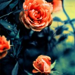 roses_by_moonlight_by_lieveheersbeestje-d2t59rc