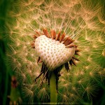 Affectionate Heart of a Dandelion