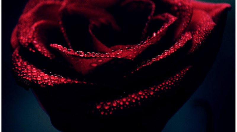 Rose__by_kle0012