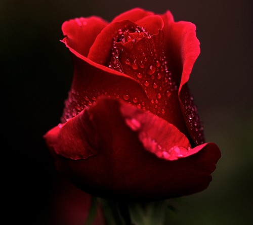 portrait_of_a_rose_by_CrisisCorps