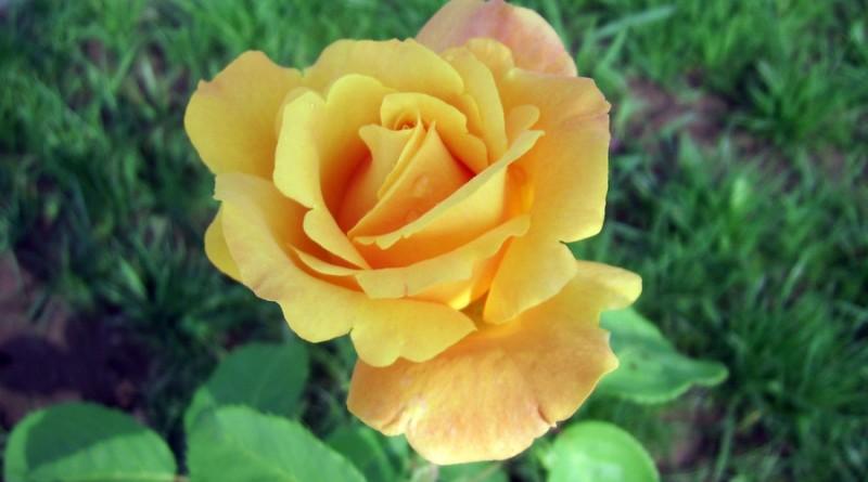 trandafir___110_by_marmotica-d3kj0o3