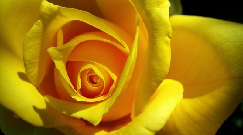 trandafiri-galbeni-1280x800